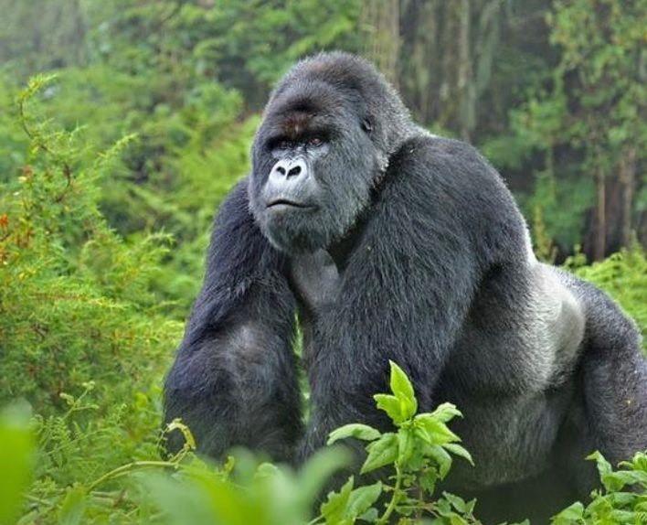 Gorilla Foundation
